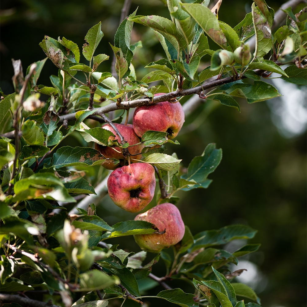 heirloom apples on tree at the Culinary Farm