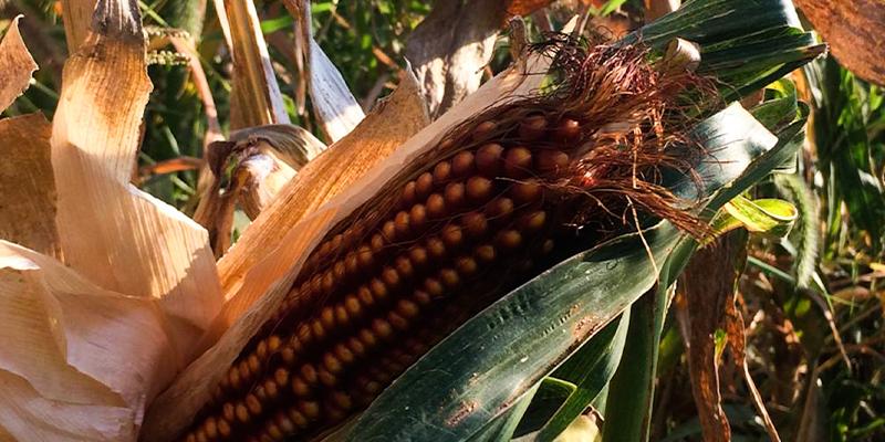 The Culinary Farm heirloom ear of corn
